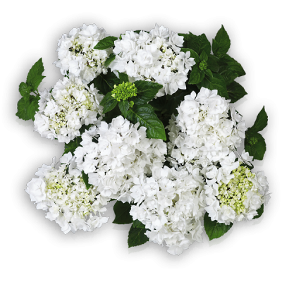 Beautensia® Coco(s) Oben