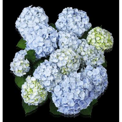Everbloom® Blue Wonder von oben