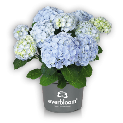 Everbloom® Blue Wonder im Topf