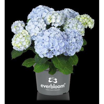 Everbloom® Blue Wonder im Topf