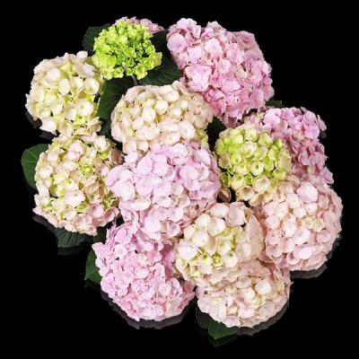 Everbloom® Pink Wonder von oben