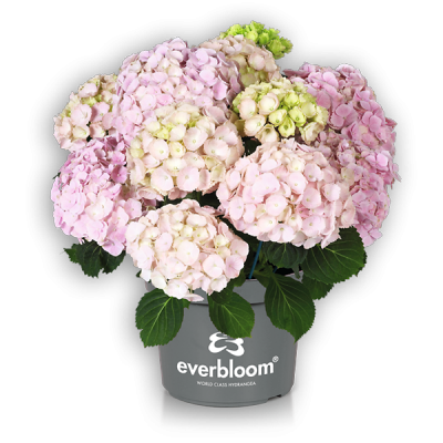 Everbloom® Pink Wonder(s)
