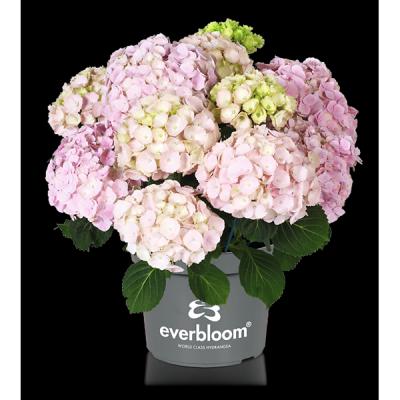 Everbloom® Pink Wonder im Topf