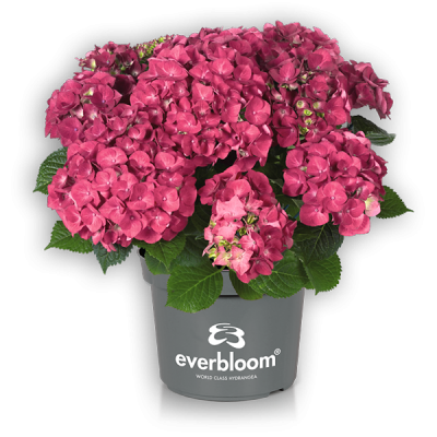 Everbloom® Red Wonder im Topf