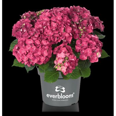 Everbloom® Red Wonder im Topf