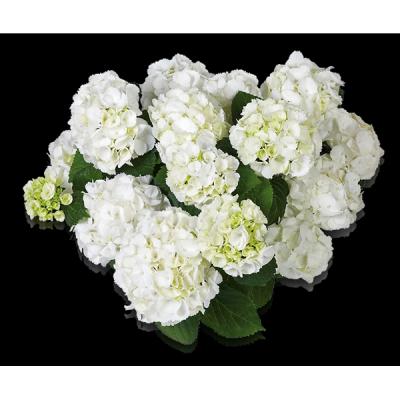Everbloom® White Wonder von oben