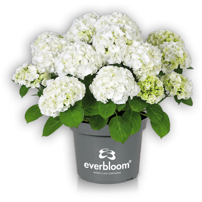 Everbloom® White Wonder im Topf