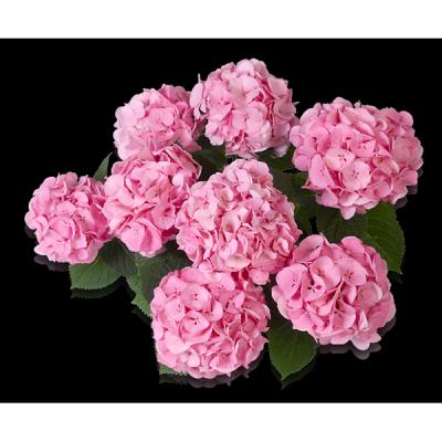 Bela(s) rosa Oben