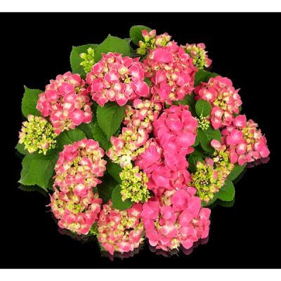 Tivoli Pink(s)