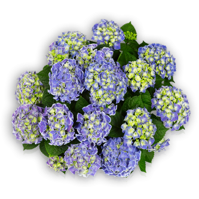 Tivoli Blue(s)