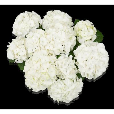 Bianco(s) Oben