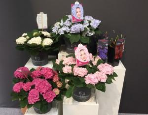 Pellens Hortensien Everbloom