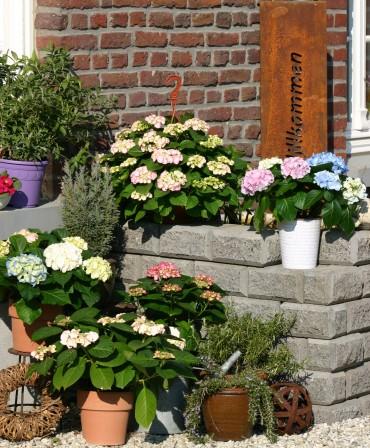 Blühender Topfgarten mit Hortensia