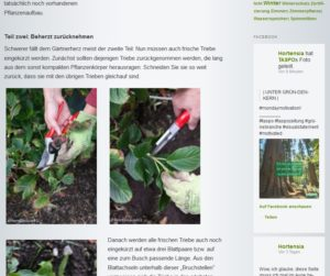 Pellens Hortensien Blog Schneiden