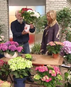 Pellens Hortensien ZDF Elmar Mai