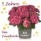 Everbloom Hydrangea Pellens Hortensien