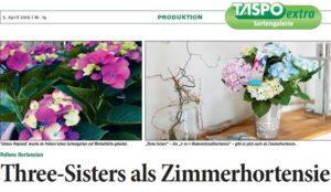 Taspo Zimmerhortensien Hortensia Three Sisters Colour Club