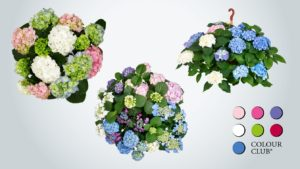 Colour Club Hortensien Mixe
